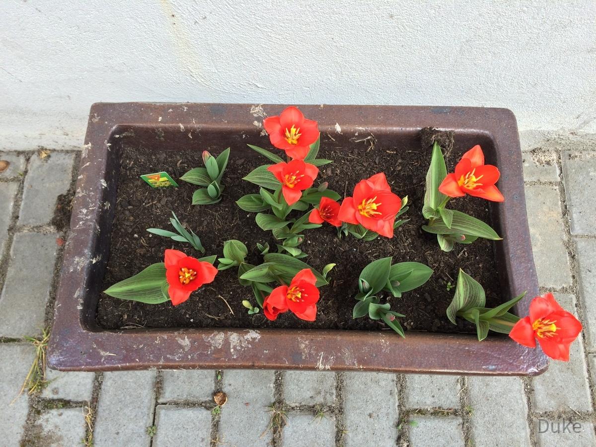 Tulpen im Blumenkübel