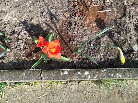 Zwei Tulpen und eine Narzisse