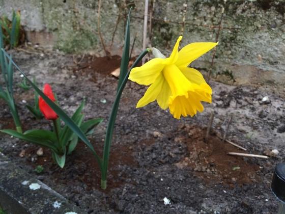 Narzisse und Tulpe