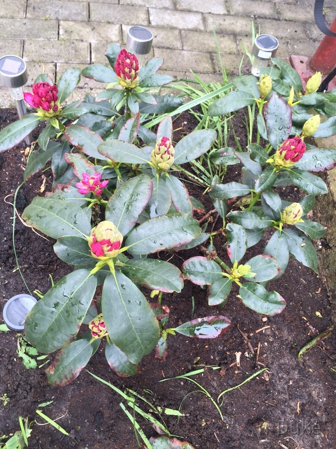 Rhododendron am 2.Mai 2015