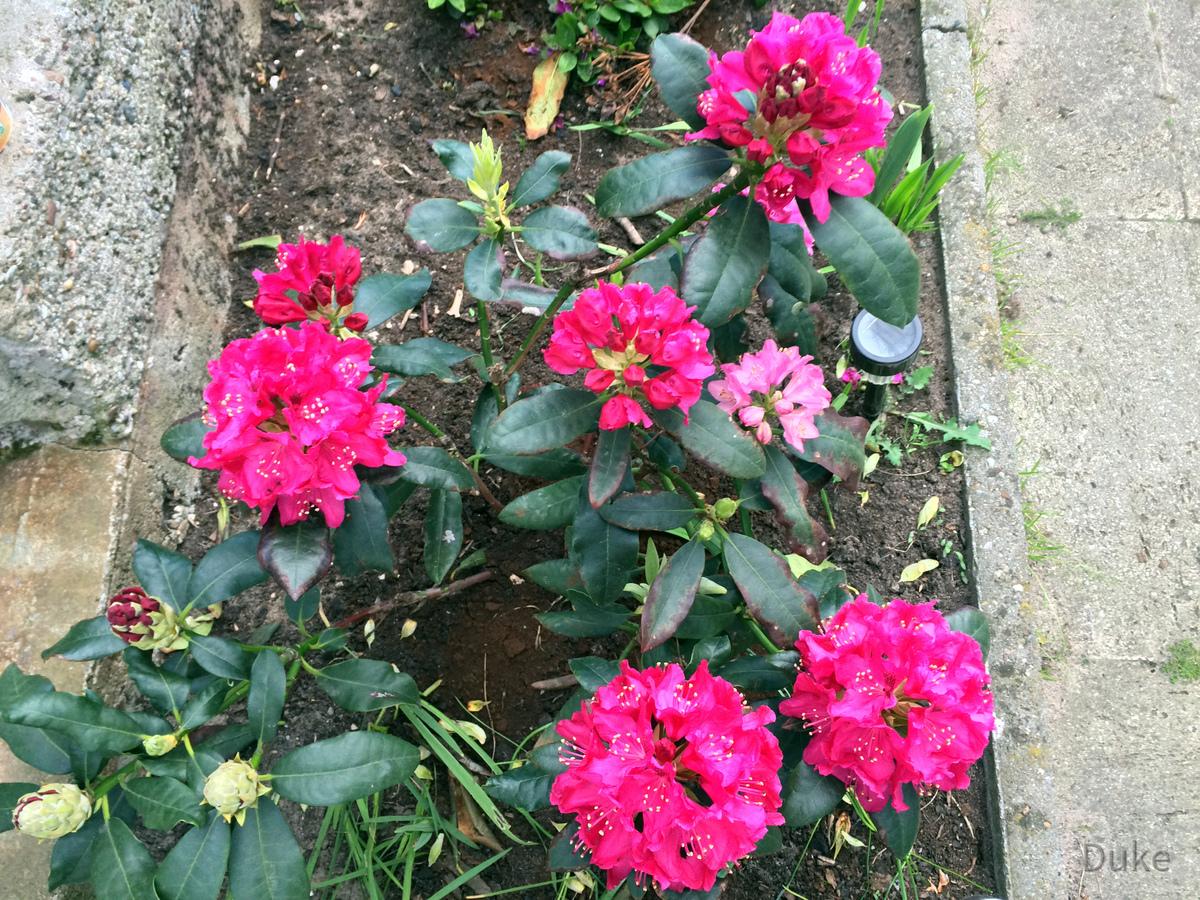 Rhododendron ein Tag später