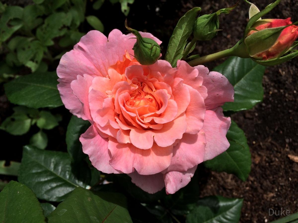 Edelrose - Augusta Luise - Duft-Edelrose mit Blüte