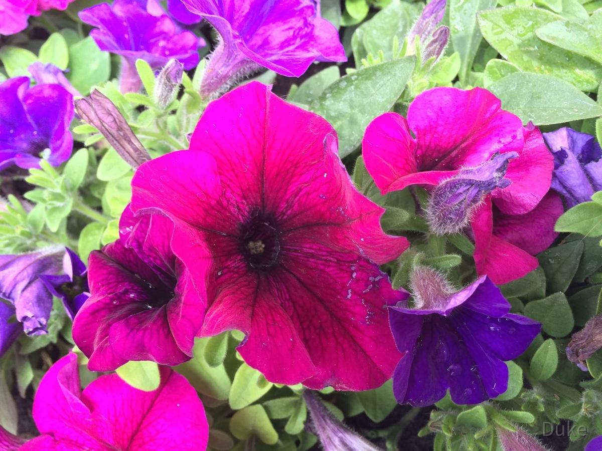 Petunien Farbenvielfalt