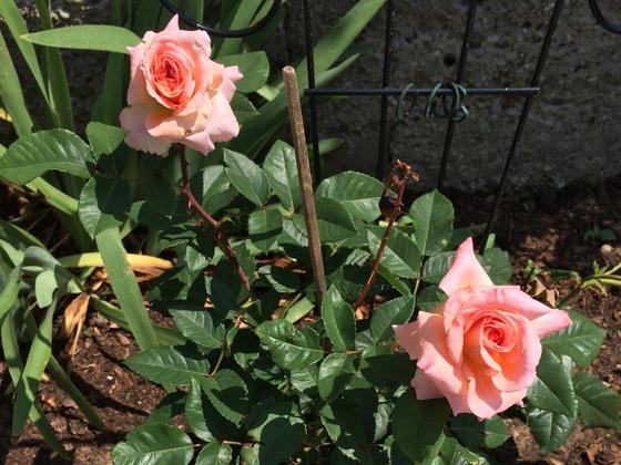 Duftrose - Pat Austin - AUSmum - 2. Blüte