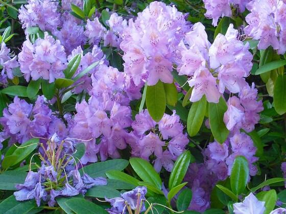 Lila Rhododendronblüten