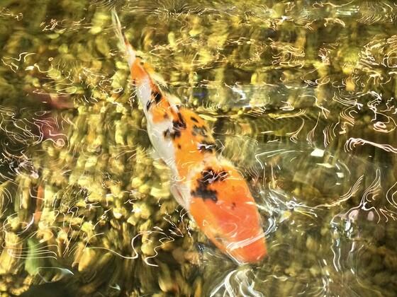 Großer Teich mit schönen Koi Fischen