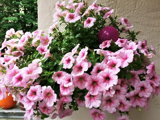 Rosa Hängepetunien auf meinem Balkon ?