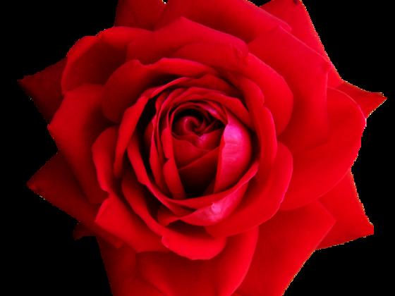 Rote Rose Valentin