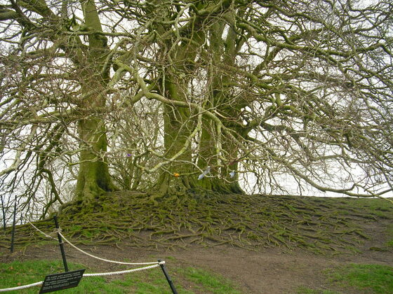 Avebury - Uralter, wunderschöner Baum