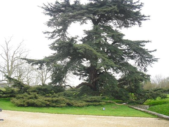 Lacock Abbey - Wunderschöne, uralte Bäume im Park