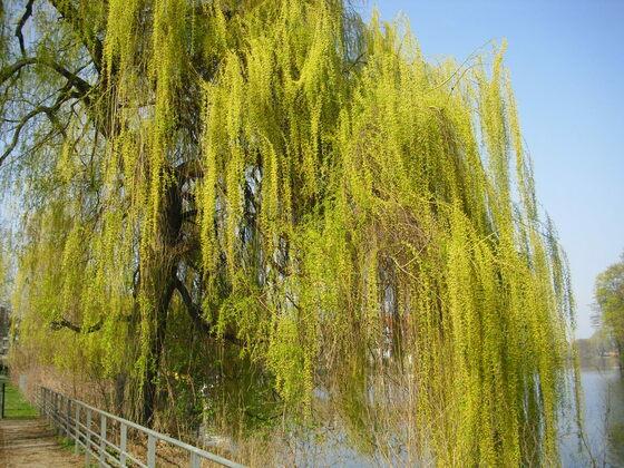 Weidenkätzchen an der Lindenufer Promenade in Berlin-Spandau