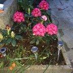 Rhododendron und mehr Blumen in der Dämmerung