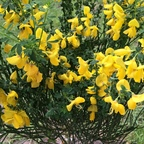 Gold-Ginster - Cytisus