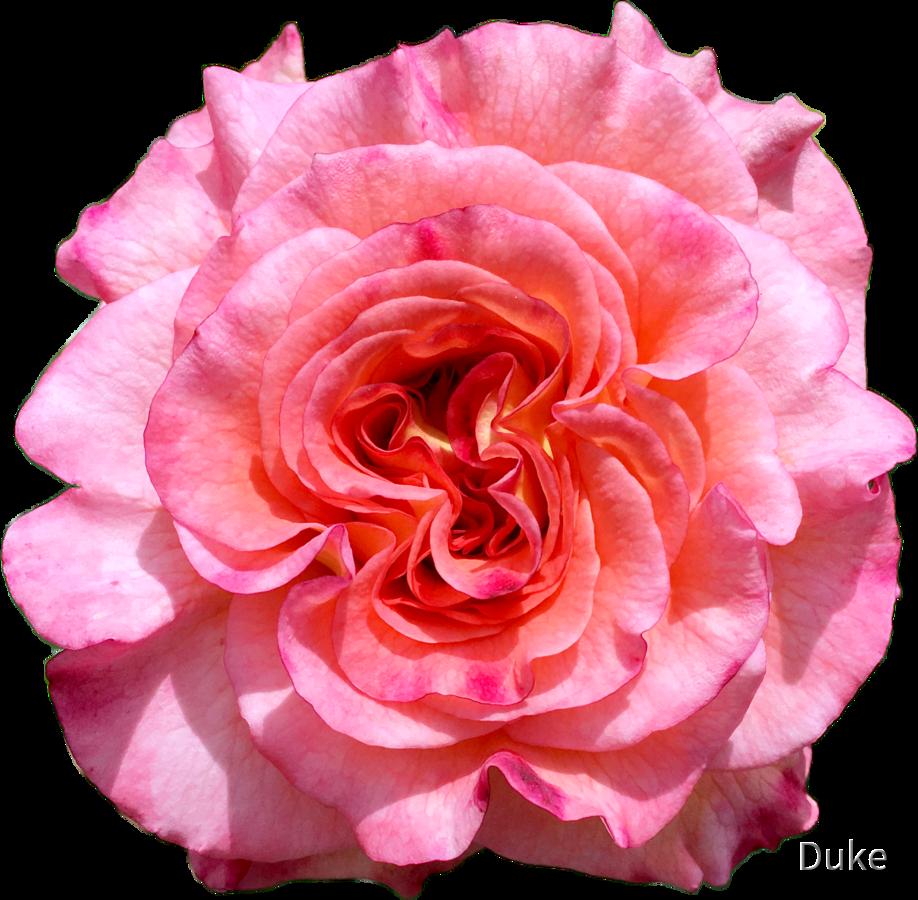 Edelrose - Augusta Luise