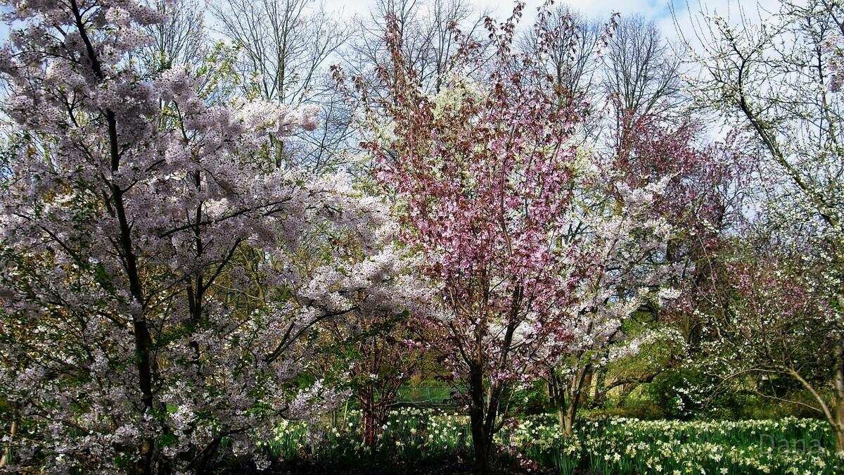 Kirschblüten im Britzer Garten