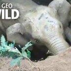 Sieh die herzergreifende Rettung eines Baby-Elefanten, der in einem Brunnenschacht gefangen ist | Nat Geo Wild