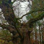 500 Jahre alte Eiche