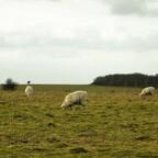 Stonehenge - Schafe