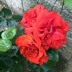 Rote Rosen wunderbar
