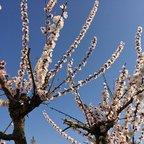 Blühender Aprikosenbaum