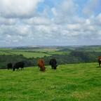Kühe auf der Bergwiese bei Bodinnick - Cornwall