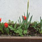 Blühende Tulpen - 12.März 2014