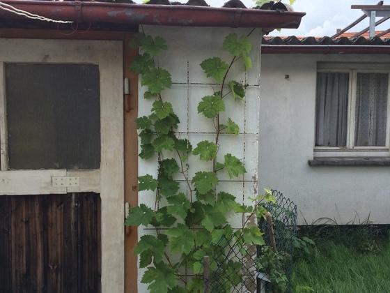 Dornfelder Weinrebe