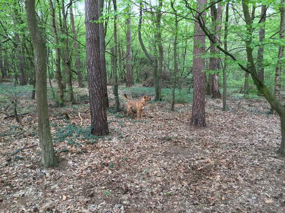 Samson im Wald bei Königstädten - An der Friedrichstanne
