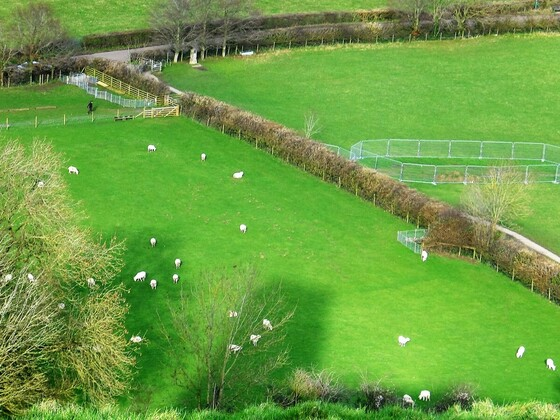 Glastonbury Tor - die weidenden Schafe