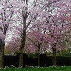 Kirschblütenallee im Britzer Garten