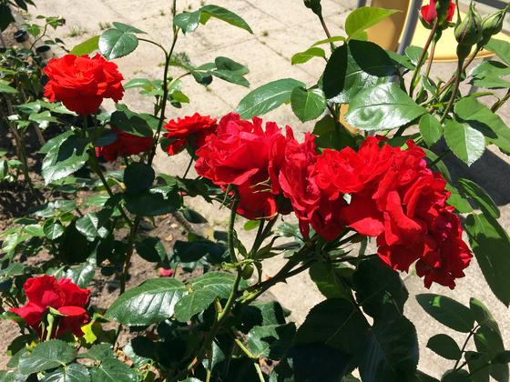 Rose Superior Rüsselsheim-Königstädten