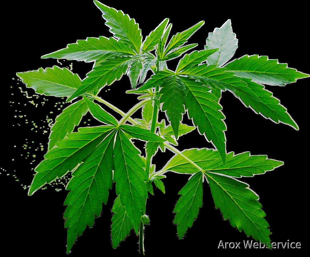 Cannabis Cosirex