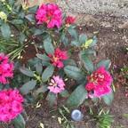 Rhododendron geht auf