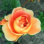 Pat Austin - AUSmum - Englische Rose