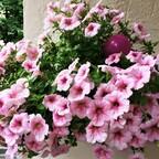 Rosa Hängepetunien auf meinem Balkon 🌸
