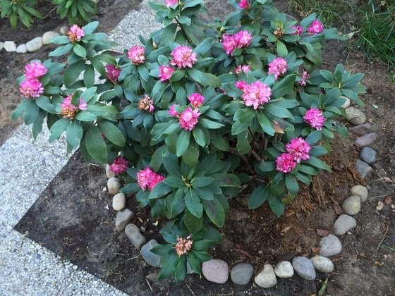 Rosa Rhododendron