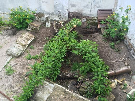 Erholter Pfirsischbaum, Blumen, Unkaut, Stechpalme - Ex-Hühnerstall am 2.Mai 2015