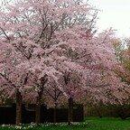 Kirschbaumblüten Romantik