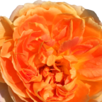 Mother's Day Rose - Muttertag-Rose
