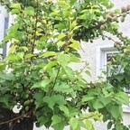 Junge Pfirsische am Pfirsischbaum am 2.Mai 2015
