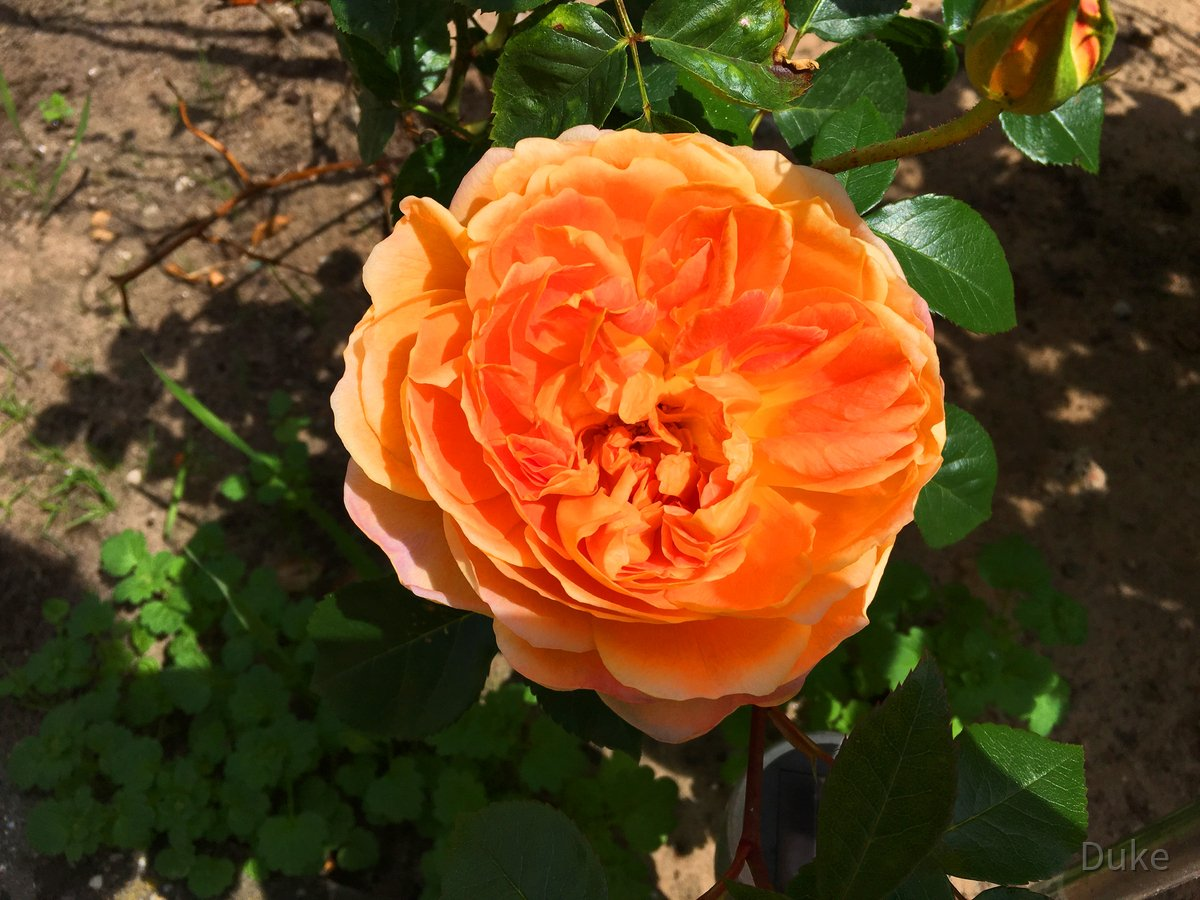 Pat Austin AUSmum - English Rose