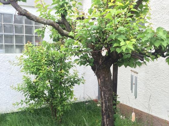 Mirabellenbaum - Pfirsischbaum am 2.Mai 2015