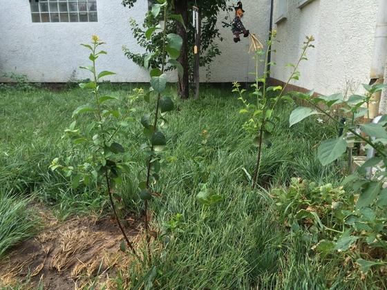 Kartoffelpflanzen - Aprikosenbaum - Mirabellenbaum