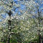 Traumhafte und wunderschöne Baumblüten