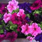 Petunien im Blumenkübel