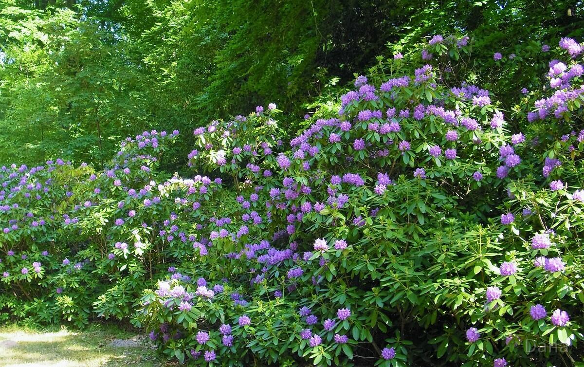 Rhododendronblüten Allee
