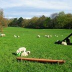 Schafe und süße Lämmchen im Britzer Garten