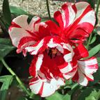 Blumenpracht Rot-Weiss