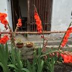 Gladiolen 2