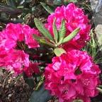 Rhododendron zu Pfingsten 2015